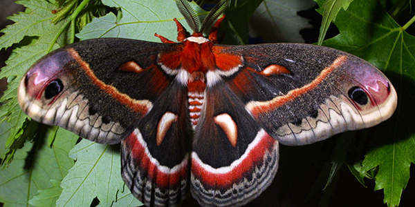 Cecropia moth wings open
